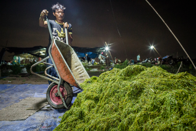 [The cutting step must be done at night so that farmers can  expose tobacco to night dew before drying it under the sun the next  morning. They have to take turn to watch over the tobacco at night in  case the rain comes in sudden.
