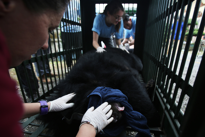 After examination, bears were put into cages and would be shipped after they were completely awake.