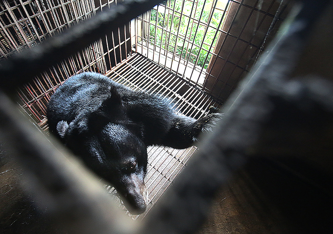 Since 2005, Ninh Binh has 40 bears, which  significantly reduces over time. These are the last two bears rescued  in the area, said Head of Ninh Binh Forest Protection Department.
