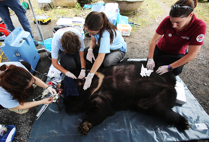 They were given overall examination and taken samples  of blood, hair, feces and urine. The doctor concluded that both bears  suffered from obesity, gall bladder damage, urinary tract infection,  worn nails and tooth decay.