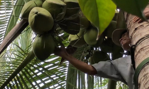 Monkeying around: Climbing coconut trees couldn't be easier with this neat gadget