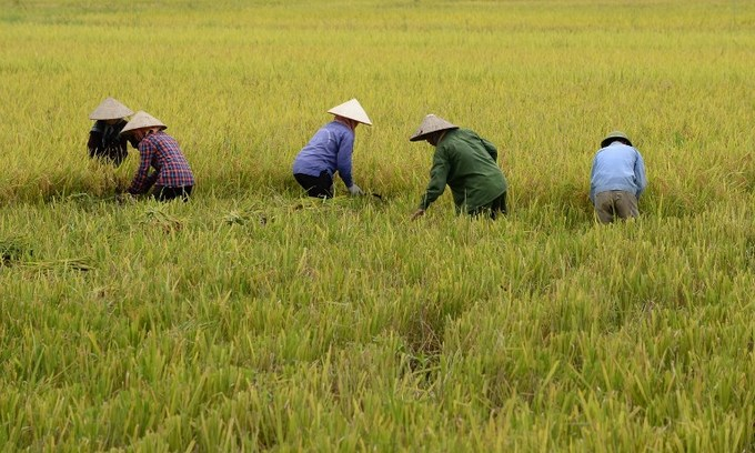 Rice prices rise in India as demand recovers; Thai prices dip ahead of harvest