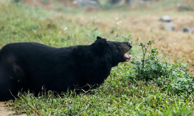 Black bear enjoys freedom after 10 years behind bars in Vietnam