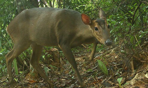 New record of giant muntjac in Vietnam raises conservation hope