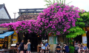 Hoi An enjoys a floral explosion in summer