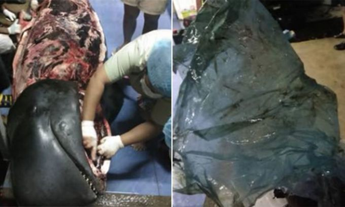 Whale dies in Thailand after swallowing 80 plastic bags