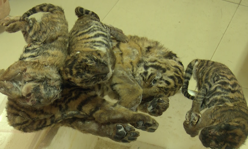 Five dead tiger cubs found trafficked by car in central Vietnam