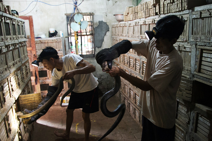 Handle with care: For an estimated 80 percent of the population in Vinh Son Town, breeding and distributing cobras and oriental ratsnakes is a traditional vocation. Each snake has a 30x30x60cm cubical cage.