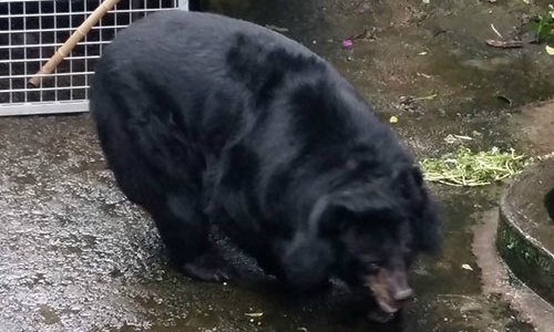 Two Asian black bears escape captivity in Vietnam after 18 years