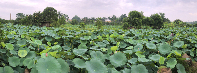 For many years, lotus has been planted in different Hanoi neighborhoods to supply for decorating purposes and lotus tea production. The West Lake lotus (Bach Diep lotus) is the most renowned one in Hanoi with its light big aromatic blossoms. Nguyen The Sans family (Liem Mac, Bac Tu Liem, Hanoi) owns a 6,000 square meter of water surface for lotus cultivation. Lotus grows naturally, and can be harvested from May 19th until September 2nd every year, said San.