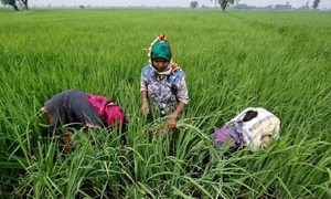 Vietnam prices ease from multi-year highs, India rice rates nudge up