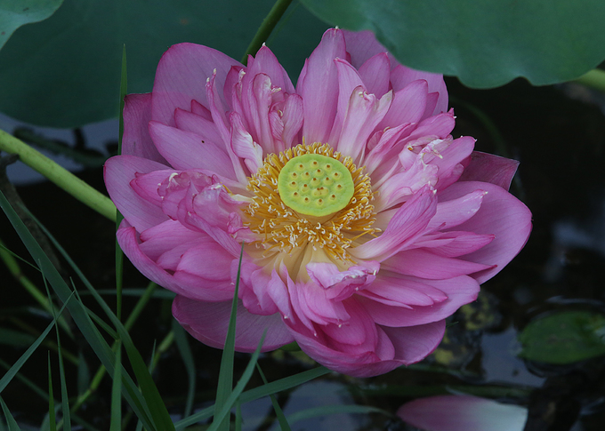 A West Lake lotus blooms into numerous tiny petals, then quickly wilts.