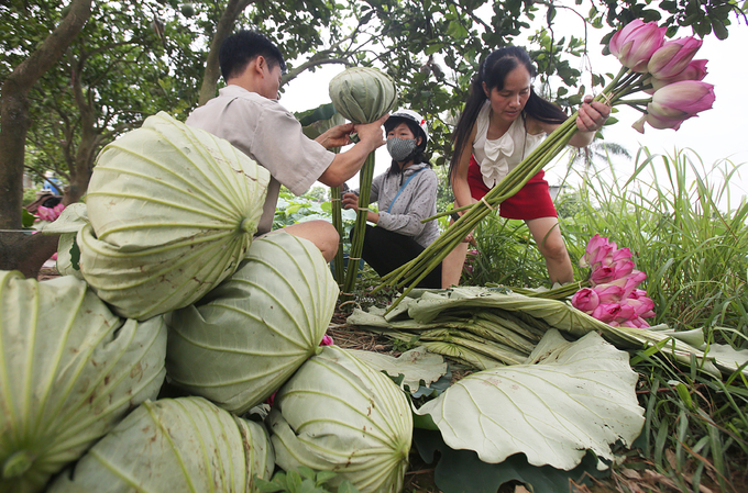 The making process of lotus tea brew is not complicated; the main task is to select the right kind of lotus, said Hanh, one of the farmer. The right lotus must be from the West Lake, with cyclical, chubby shape. Each person can harvest more than 400 blossoms daily.The right type of tea leaves should be from Thai Nguyen, so that the tea will later obtain a green color. The price would be around VND 500,000 ($22) per kilogram of standard dried tea leaves.