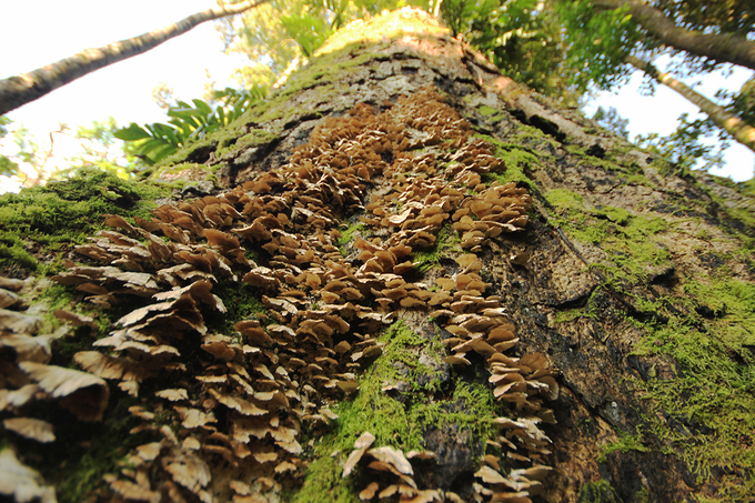 Mushrooms sprout of a tree.The jungles temperatures are optimal for mushrooms to grow.