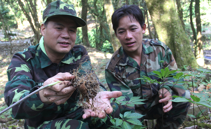A 5-year-old ginseng root is harvested. The ginseng is sold in local markets at the beginning of each month. A kilo of this ginseng can fetch between VND60 to 100 million ($2,600-4,400). The ginseng plants leaves, also having medicinal values, cost from VND5.5 to 6.5 million per kilogram.