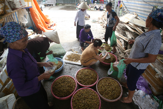 In time when there are big sports event such as World Cup or Euro, families in Le Thanh normally work around the clock  to meet the higher the demand for processed locusts of restaurants in Hanoi.