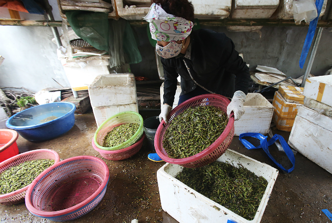Around 50 families in My Duc District take part in the locust business. Locust usually appear in the paddy harvesting season, or May and October, Nguyen Thi Hoa in Le Thanh Commune says.