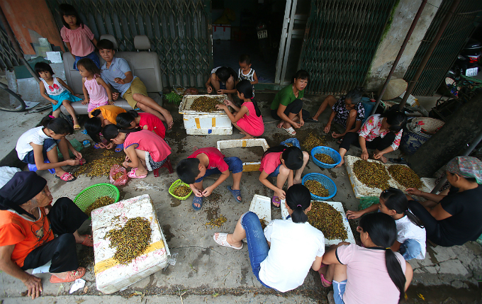 Around 50 families in My Duc District take part in the locust business. Locust usually appear in the paddy harvesting season, or May and October, Nguyen Thi Hoa in Le Thanh Commune says