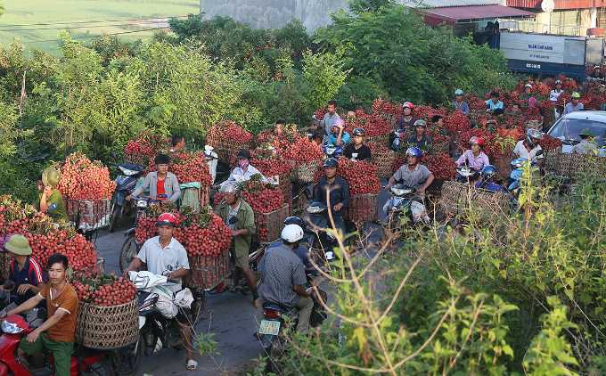 The traffic of motorbikes carrying harvested lychees is several kilometers long.