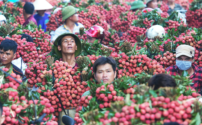 At 5:30 a.m., highway 279 is covered with the distinct red color from lychee as traders rush to deliver this seasonal fruit to wet markets. Lychee are freshly pick daily at2 a.m.