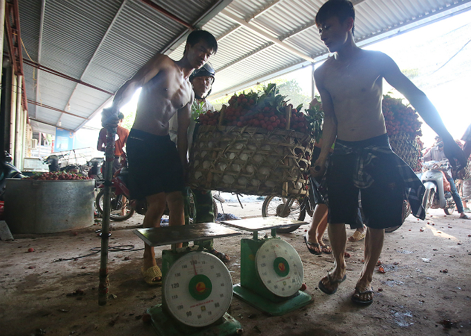 Farmers are weighing baskets of lychee. Farmers and traders only estimates weight, and use verbal deals. A lychee basket costs between VND 3,000-16,000/kilogram. However, due to great supply but low demand, a 120-200 kilogram lychee basket now only value roughly VND500,000 instead of VND 3 million in previous years.