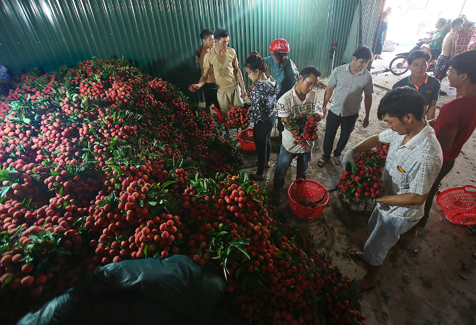 Traders are carefully picking lychee and throw away bad ones. My family bought lychee from Hai Duong City, before continue buying more at Bac Giang Province. From 5 a.m. to 5 p.m. throughout the whole season, my team gathers 60 tons of lychee, packs into four containers, before ship them out to China.