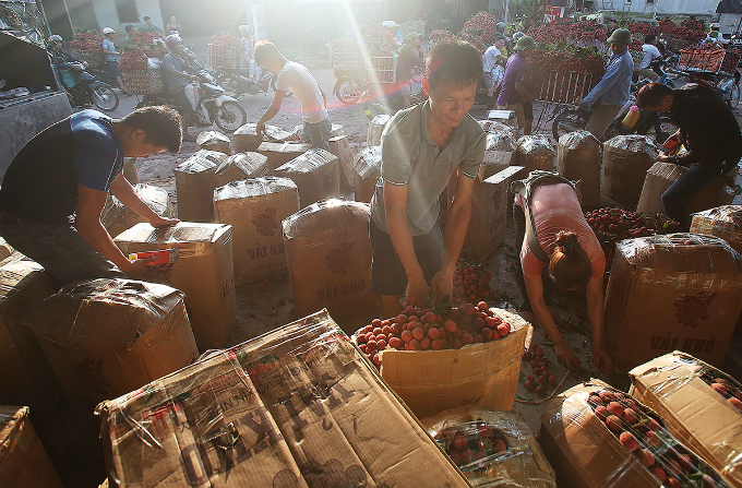 Traders are packing lychee into boxes, sending them to boder gate for quality check before exporting.