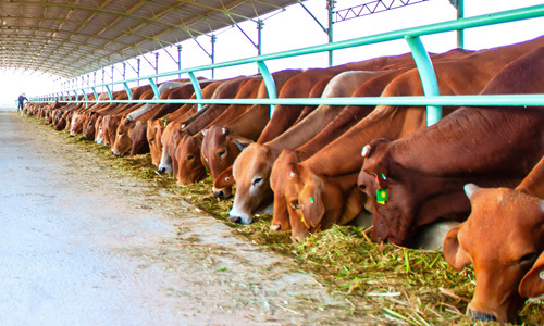 Imports driving Vietnam cattle farmers out of business