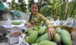 US to import Vietnamese mangoes