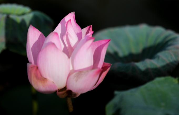 Saigons lotus kingdom blooms in summer - 5