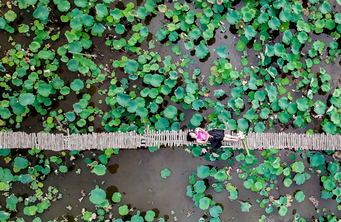 Saigons lotus kingdom blooms in summer - 9