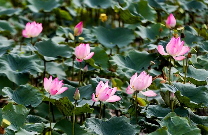 Saigons lotus kingdom blooms in summer - 3