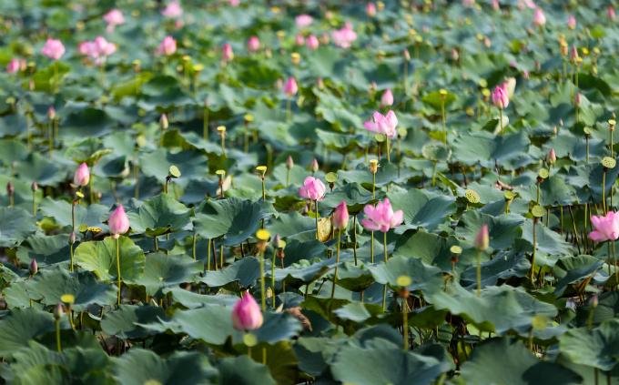 Saigons lotus kingdom blooms in summer - 1