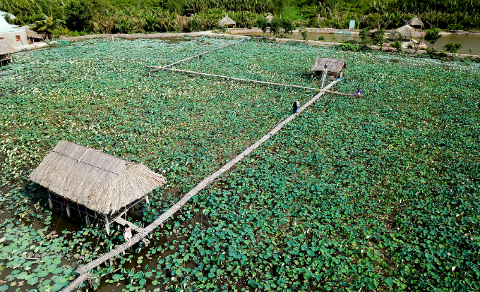 Saigons lotus kingdom blooms in summer