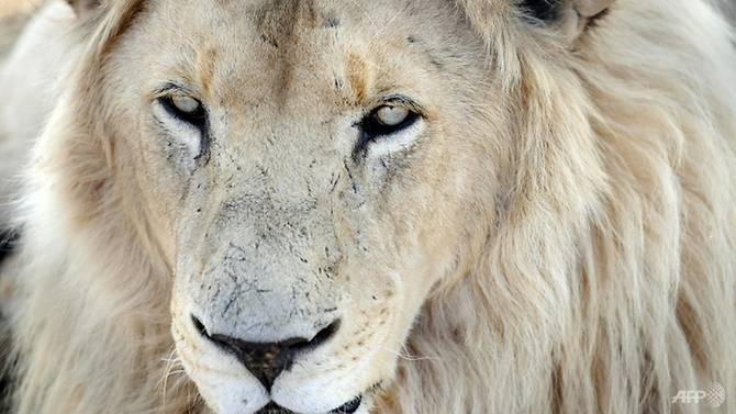 Lions eat rhino poachers on South African reserve