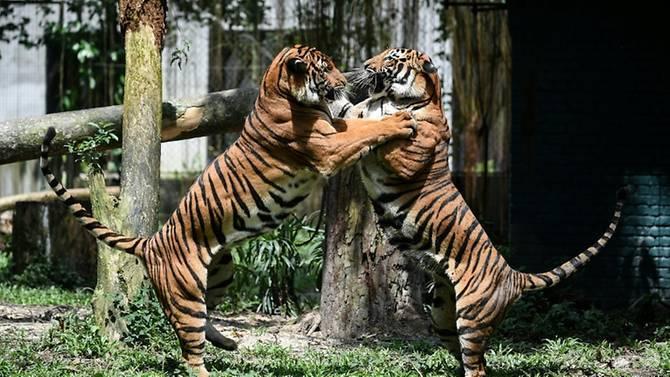 Malaysia arrests 6 Vietnamese poachers, seizes Malayan tiger skins