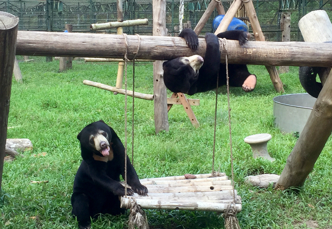 Murphy shares the habitat with his friend, Goldie. The two lives happily in their environment. Experts say a sun bear like Murphy typically lives for 30 years.