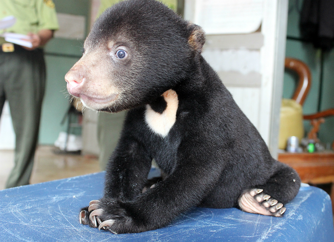 The sun bear was only weight 3.6 kilograms when authorities rescued it from an illegal trade from Laos to Vietnam in 2015. Rescuers named the sun bear Murphy on August 30, 2015.
