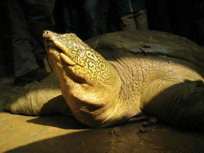 Vietnam welcomes China collaboration in breeding rare Sword Lake turtles