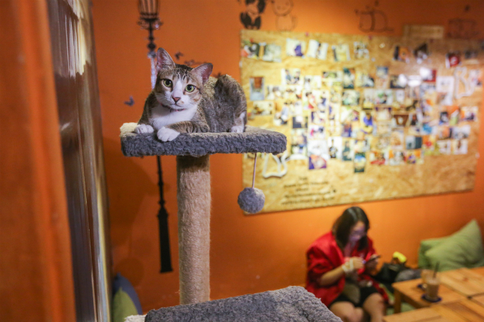 Unlike other cat coffee shops in Saigon, which full with foreign breed cats, cats in this coffee shops are local breeds.