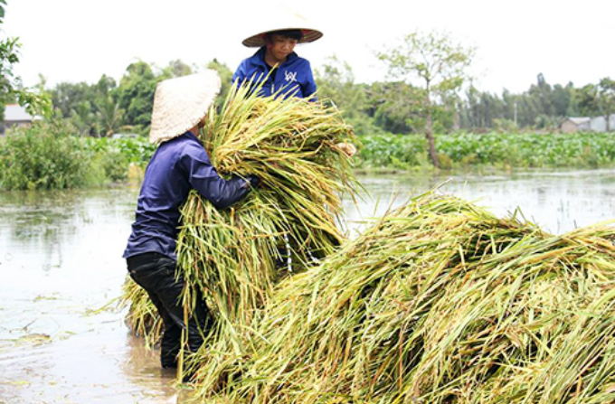 Farmers harvest crops ahead of the flood. Photo by VnExpress/Hoang Nam