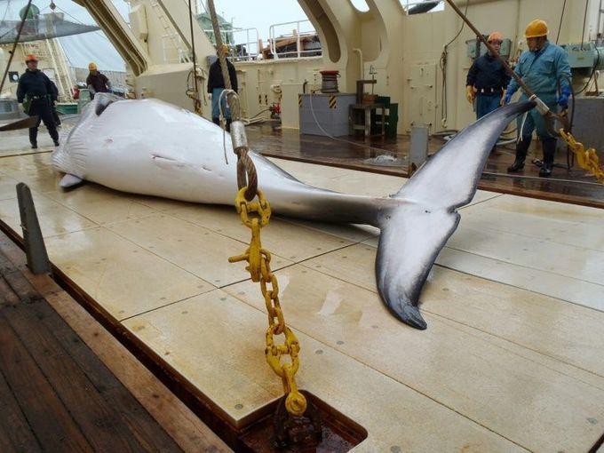 Australia to 'vehemently' oppose Japan push to ease whaling ban