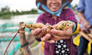 Vietnam shrimp exports sluggish, but to recover along with prices