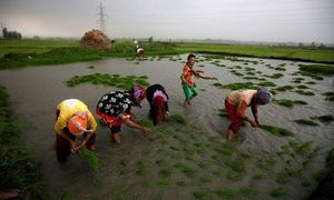 India rice rates up on monsoon lull; flood threat looms in Thailand, Vietnam