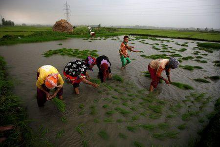 India rice rates up on monsoon lull; flood threat looms in Thailand, Vietnam