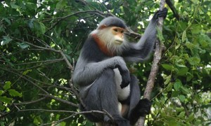 Vietnam province scrambles to save endangered monkey