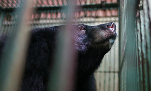 Two black bears held captive for bile released after 18 years in Vietnam