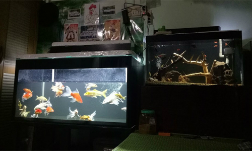 Unlike some people, who are superstitious, avoid putting fish tanks inside the bedroom. Kim Thao, a Phu Nhuan District residence shared that she feels calm and peaceful when looking at the fish tank lamps before bed time.