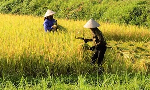 Asia Rice: Dip in Indian rates on rupee weakness dulls Vietnam offers