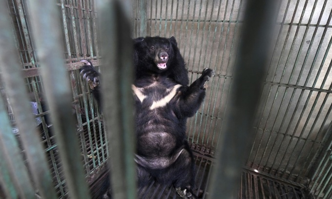 Vietnam's caged bears dying off as bile prices plummet